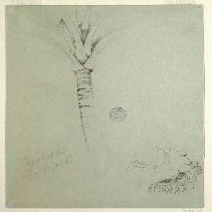 Vertical view of the upper part of the trunk of a coconut palm with the lower parts of the leaves at left, and a portion of the root at right.