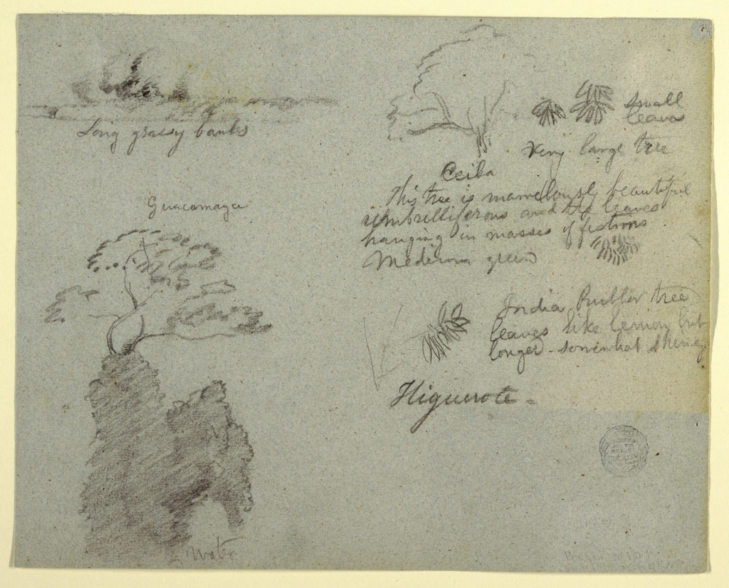 Horizontal group of sketches containing an elevated bank with a group of trees, at top left; tops of trees, at bottom left; details of a ceiba tree, at top right; and leaves, at center right.