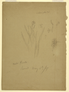 "Drawing, ""Water Plants,"" Rome Italy"