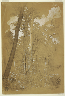 Vertical view of tall trees, apparently chestnuts, and woodland shurbbery beneath, with indications of some foilage and of clouds seen between the tree tops in white gouache.