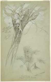 Vertical view showing at left part of the trunk and top of a tree wrapped by tendrils of a parasite, with a plant with palm like leaves at bottom right.