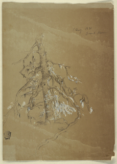 Vertical view of a gnarled evergreen tree.