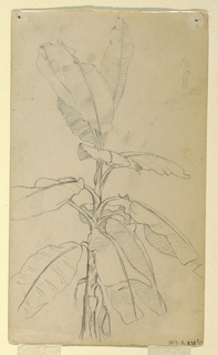 Drawing, Study of a Long-leaved Pl, May and June 1857