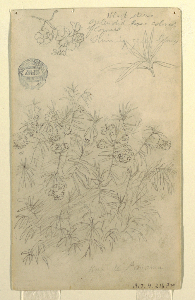 Recto:  Vertical view of two small boughs, one with blossoms on the left and one with leaves on the right at upper edge of sheet, and a detailed view of the plant at the bottom of the sheet.  Verso:  Sheet divided into three vertical zones, each with a separate tree study: at left is a palm-like tree; in center is a plain tree; and at right are two small studies of trees similar to that of the central zone, arranged one atop the other.
