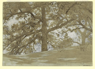 Horizontal view of a large oak tree with spreading branches viewed from below, at center, with a second tree in the right background of the sheet.