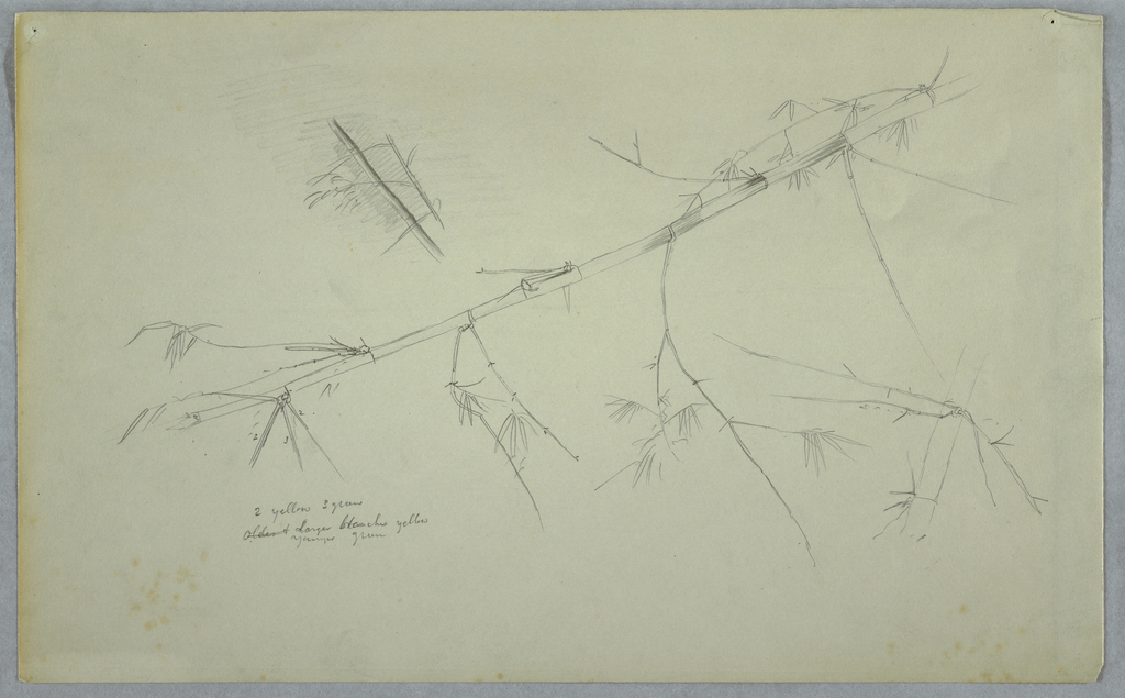 Horizontal view of a long stem of bamboo drawn obliquely from top right to bottome left, with two small stems at top left.
