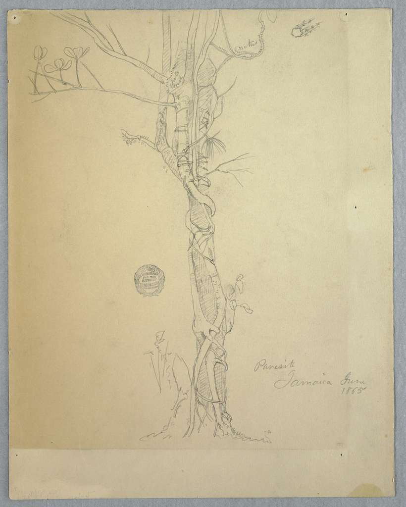 Vertical view of a parasite, a strangler fig, winding around a palm trunk, and a section of a stem at upper right.