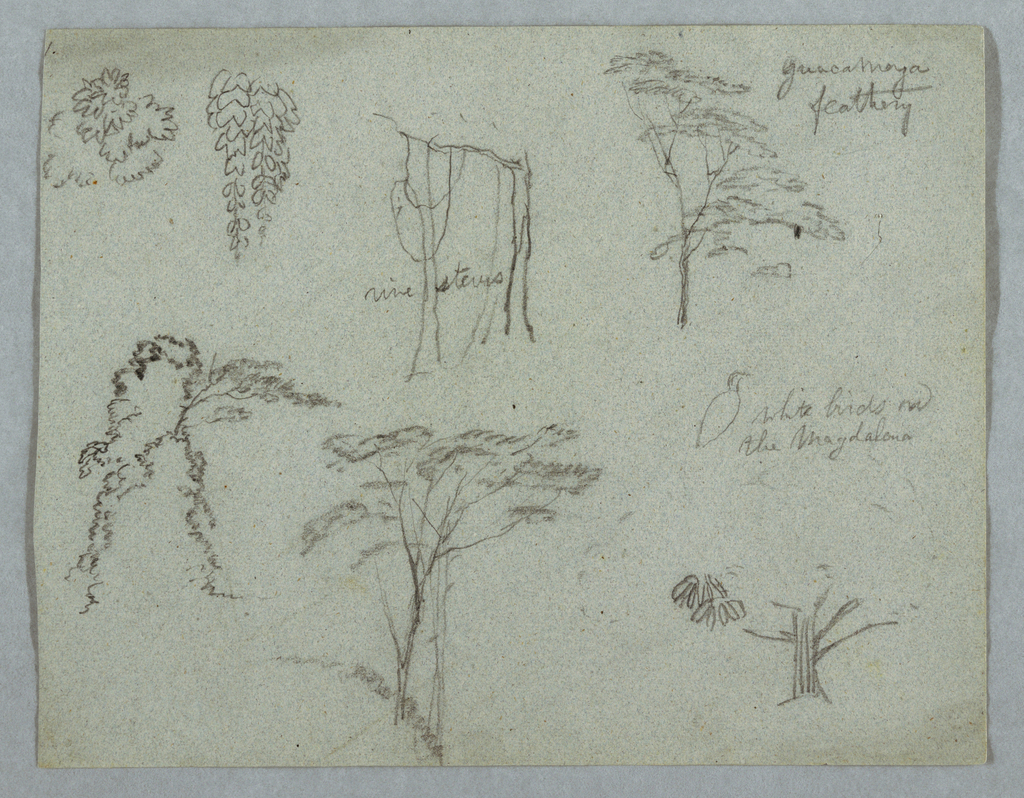 Horizontal view of leaf boughs, vine stems and top of a Guacamaya tree across upper part of sheet with a group of bushes and trees, a white bird and a plant detain across the bottom part.