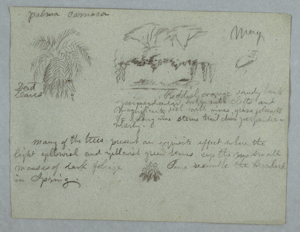 Horizontal view of top of a camaca palm at upper left, a group of trees and vines on a river bank at center, a crane-like bird at upper right, and a sketch of leaves at bottom center.