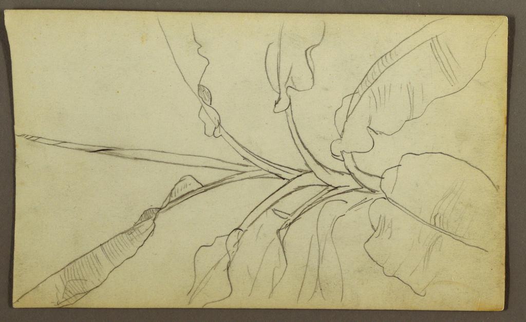 Drawing, Botanical Sketches, Ecuador, or Colombia; Verso: Botanical Sketches, 1857