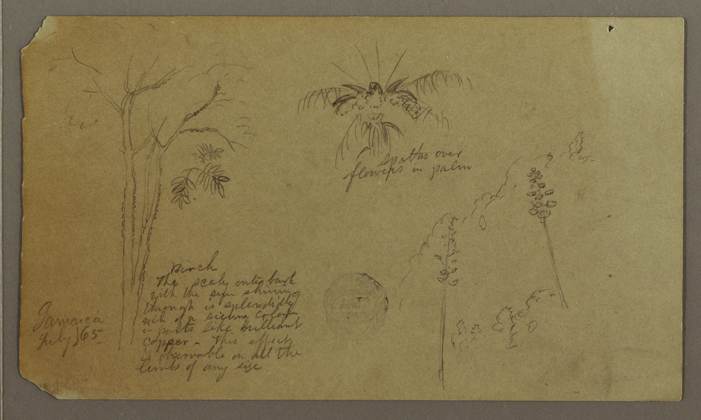 Drawing, Sketches of Trees, Jamaica, July 1865