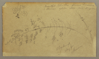Drawing, Sketches of Plants, Bloxburgh, Jamaica, August 1865