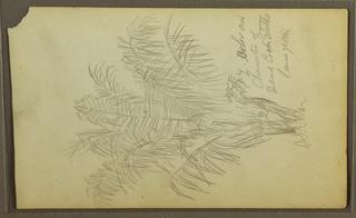 Drawing, Botanical Sketches, 1857