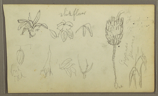 Drawing, Botanical Sketches, 1857