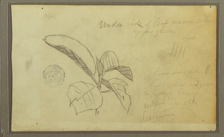 Drawing, Leaves, 1857