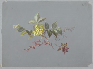 At center: branch with green, spiked foliage and yellow blossoms, top of branch faces upper left corner of page. Three branches with green and maroon foliage radiate from base of branch.
