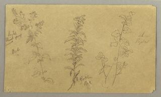 Drawing, Three plant studies, October 1865