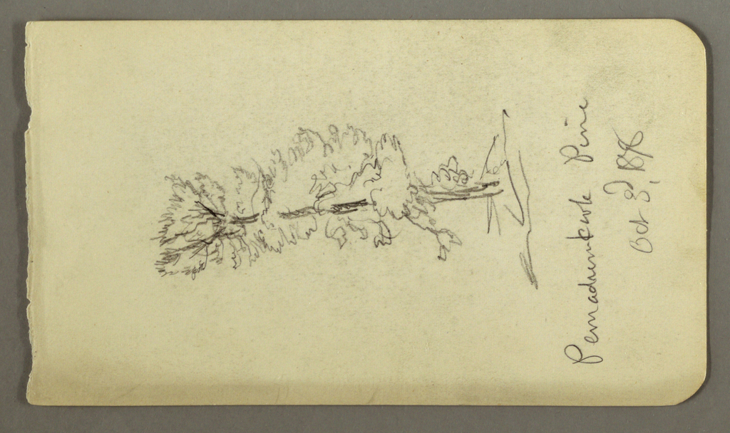 Drawing, Pine Tree, 1878
