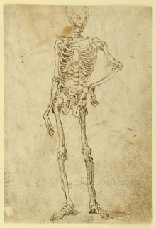 Ideal human skeleton shown standing contrapposto, with the left hand on hip.