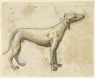 A greyhound dog wearing a collar facing right. The point of the tail is off page.