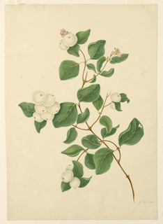 """A branch of snow-berries, with two blossoms. One leaf is worm-eaten. Dated, in ink, lower right: """"8th Oct. 1832""""."""