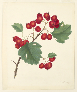 """A branch of currants; leaves are worm-eaten. Dated, in ink, lower right: """"2nd Oct. 1827""""."""