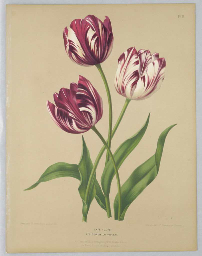 Botanical study of three tulips.