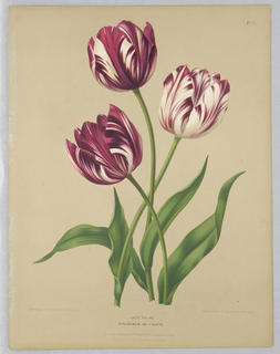 Botanical study of three tulips.