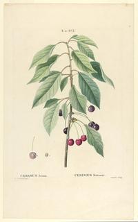 Print, Cerasus Avium