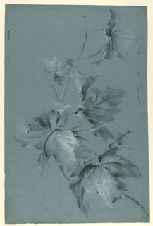 Drawing, Grape Leaves
