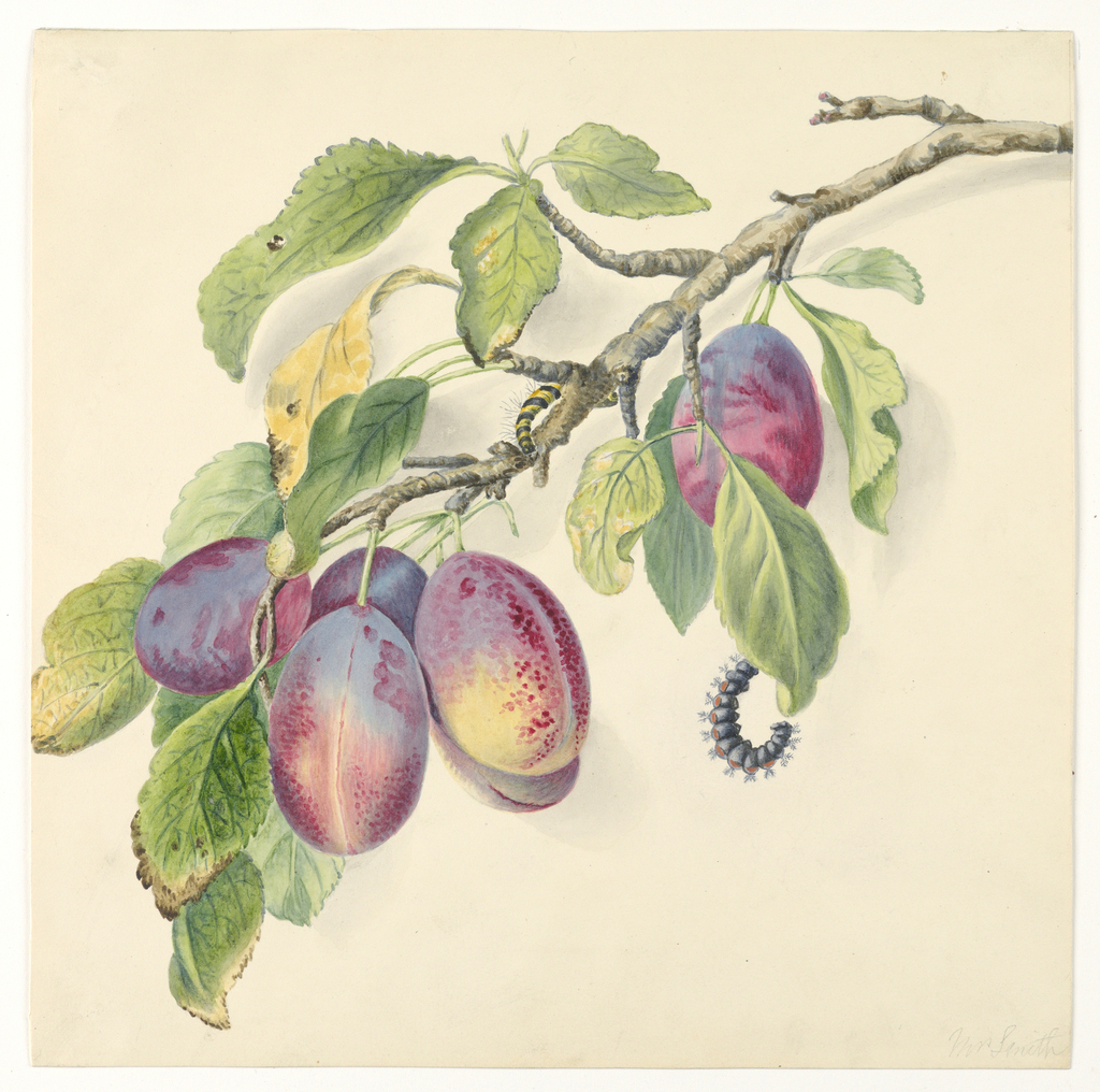 Botanical study from nature.