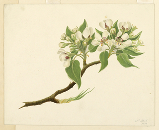 """A branch with orange blossoms. Dated, in ink, lower right: """"23rd April 1832""""."""