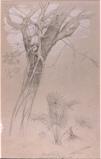 Drawing, Study of Tree Trunk, Parasite Vine, and Palm Plant, Jamaica