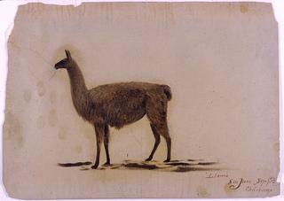 Drawing, Ecuador, San Juan (Chimborazo), llama, September 1853