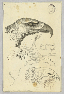 Studies of two heads, one wing of an eagle.