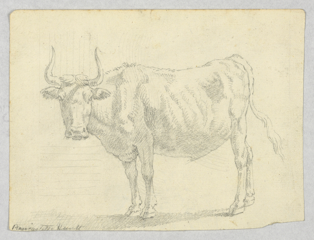 View of a cow facing left.