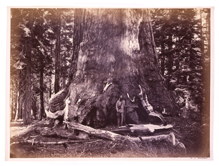 View of forest, man with rifle, standing before an enormous tree trunk.
