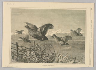 Five partridges fly as if flushed from the cover of ivy and long grass below.