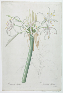 Single stalk with white Tahitian amaryllis blossoms and buds.