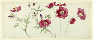Sprays of red flowers with yellow centers, resembling mallow, accompanied by pale green foliage resembling that of cosmos.