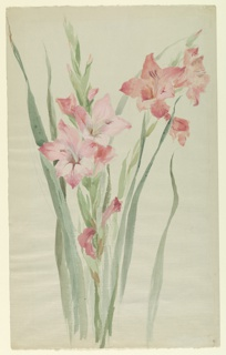 Vertical sheet depicting two sprays of pink amaryllis with green foliage.