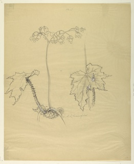 Vertical sheet depicting a begonia plant, including details of a leaf.  Graphite is used for shading, with light touches of green color on the stalks, as well as pale pink on the blossoms.
