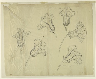 Horizontal sheet illustrating six studies of squash or pumpkin blossoms.