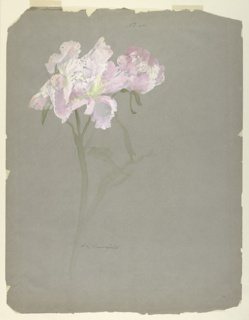 Vertical sheet illustrating a peony stalk drawn to left center of sheet.  The stalk contains two blossoms - one fully opened, the other only partially - in shades of pinks and yellow.