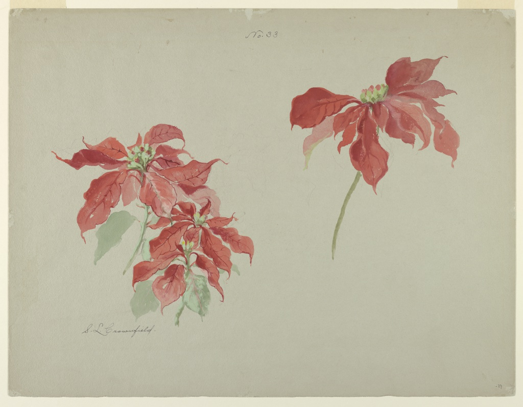 Horizontal sheet depicting two studies of poinsettias.