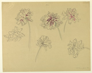 Horizontal sheet depicting three studies of peonies at top (tinted with color) and bottom (not colored).