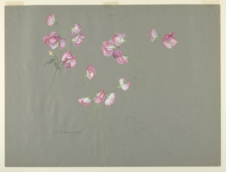 Horizontal sheet depciting three clusters of sweet pea and one single blossom in strong pink with white, and bright green stems.