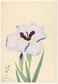 A large iris, outer perianth leaves light purple, inner leaves deep purple.