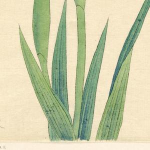 A large white iris.
