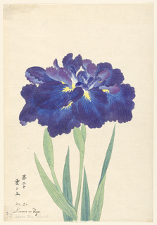 A large iris, outer perianth leaves in deep blue; inner leaves purple.